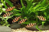 Fiveband barbs (Desmopuntius pentazona) in aquarium