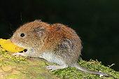 Bank vole (Myodes glareolus) juvenile eating a fruit