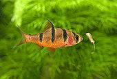 Fiveband barb (Desmopuntius pentazona) eating an artemia in aquarium