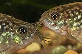 Corydoras bilineatus 'San Juan'