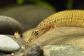 Zebra spiny eel (Macrognathus zebrinus) eating artemias in aquarium
