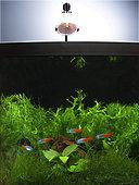 Tétra néon 'Diamant' (Paracheirodon innesi), groupe en aquarium