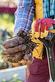 Harvest sweet potato. Man holding freshly harvested sweet potato tubers.