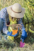 Woman planting a perennial ground cover in the cold season. Planting an ivy 'Dyinni'