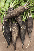 Radish 'Noir long maraîcher' : 'Black long market gardener'. Winter radish also called 'Noir long poids d'horloge : 'Black long clock weight'