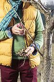 Taille hivernale des rameaux morts ou desséchés d'un pêcher/nectarinier