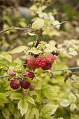 Raspberry tree with chlorosis. In soils where there is a lot of active limestone, raspberry bleaches.
