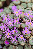 Stone-plant (Conophytum minutum var pearsii), native to South Africa, in bloom