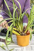 Cymbidium orchid potting
