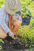 Planting a rhubarb (Rheum rhabarbarum)