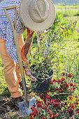 Man planting a Sydney golden wattle (Acacia longifolia)