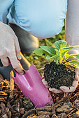 Planting a purple foxglove (Digitalis purpurea)