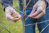 Staking a fruit tree stalk. Attaching a young cherry branch to a guardian must drive the tree into an erect form in winter.