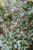 Mulberry-raspberry (Rubus x) 'Tayberry' in fruit in summer, Lot, France