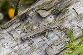 Common wall lizard (Podarcis muralis) with cut tail, summer, Lot, France