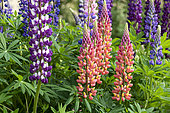 Lupine (Lupinus polyphyllus) in bloom in a garden, spring, Moselle, France