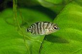 Convict cichlid (Amatitlania kanna) 'Panama', young