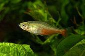 Tétra rubis (Aphyocharax rathbuni) en aquarium