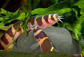 Half banded kuhli loach (Pangio semicincta) (half banded kuhli loach), pair in aquarium