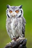 Southern white-faced owl (Ptilopsis granti), captive
