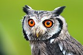 Southern white-faced owl (Ptilopsis granti), captive, Portrait