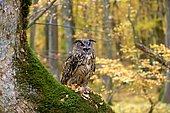 Grand-duc d'Europe (Bubo bubo) criant sur une souche en forêt de feuillus, Slovaquie