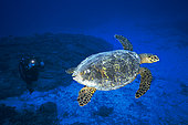Hawksbill Turtle (Eretmochelys imbricata) and diver on the outer slope of the Mayotte lagoon