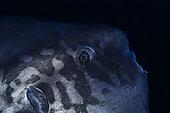 Moonfish (Mola mola) from the Twilight Zone, Mayotte