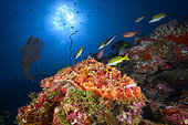 Tassled scorpionfish (Scorpaenopsis oxycephala) on reef, Pass Bateau Nord, Mayotte