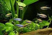 Tétra royal (Inpaichthys kerri), groupe en aquarium
