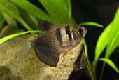 Veuve noire (Gymnocorymbus ternetzi) en aquarium