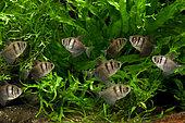 Veuve noire (Gymnocorymbus ternetzi), groupe en aquarium