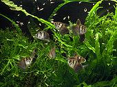Artemia feeding for Black tetra (Gymnocorymbus ternetzi) group