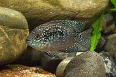 Jack Dempsey (Rocio octofasciata), male in aquarium