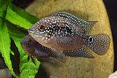 Jack Dempsey (Rocio octofasciata), pair in aquarium