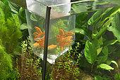 Gold barbs (Barbodes semifasciolatus) waiting to be released in aquarium