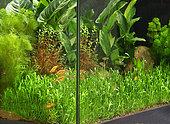 Gold barbs (Barbodes semifasciolatus) and Lambchop rasboras (Trigonostigma espei) in aquarium