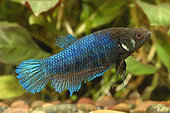 Siamese fighting fish (Betta splendens) female injured by the male