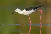 Black-winged Stilt (Himantopus himantopus), side view of an adult male walking in a pond, Campania, Italy