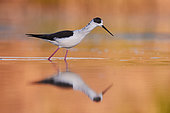 Black-winged Stilt (Himantopus himantopus), adult male walking in a pond at sunset, Campania, Italy