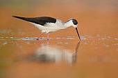 Black-winged Stilt (Himantopus himantopus), side view of an adult eating insects on the water surface, Campania, Italy