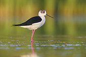 Black-winged Stilt (Himantopus himantopus), side view of an adult male standing in the water, Campania, Italy