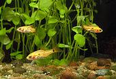 Young Gold barbs (Barbodes semifasciolatus = Puntius schuberti)