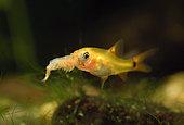 Young Gold barb (Barbodes semifasciolatus = Puntius schuberti) eating an Artemia