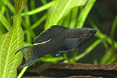 Black Sailfin molly (Poecilia latipinna)