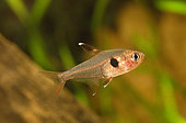Tétra fantôme rouge (Hyphessobrycon sweglesi) en aquarium