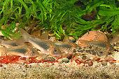 Bronze corydoras (Corydoras aeneus) and Peppered corydoras (Corydoras paleatus) eating bloodworms in aquarium