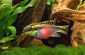 Kribensis (Pelvicachromis pulcher), pregnant female