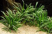 Ophiopogon du Japon 'Kyoto Dwarf' (Ophiopogon japonicus) en aquarium. Espèce souvent vendu comme plante d'aquarium d'eau douce, bien que ce ne soit pas une vraie plante aquatique.