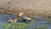 Nile crocodile (Crocodylus niloticus) attacking by surprise a male impala (Aepyceros melampus) drinking water, fatal attack, Kruger National Park, South Africa, Africa